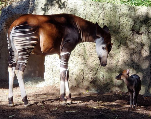 A beautiful okapi with red duiker in San Diego zoo taken by Michelle Fryer from Creations For Wildlife.
