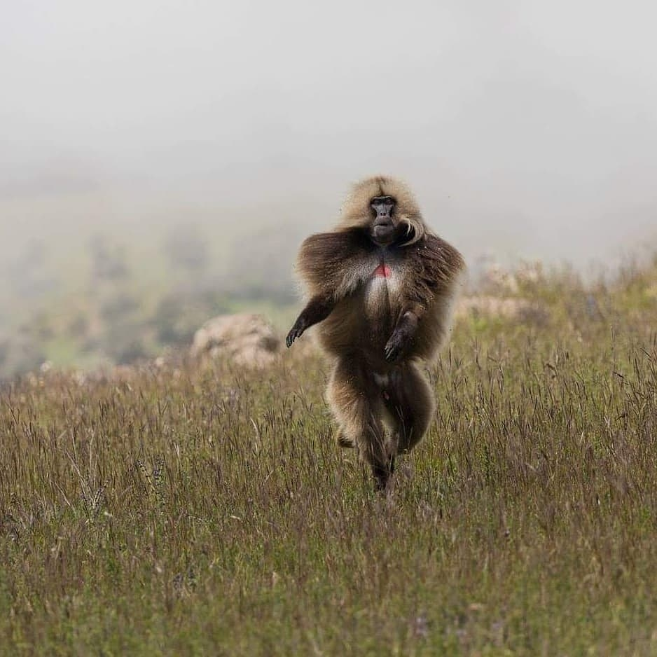 This Gelada Monkey looks like he's strutting his stuff on the runway! . Taken in the Simien Mountains, Ethiopia.
