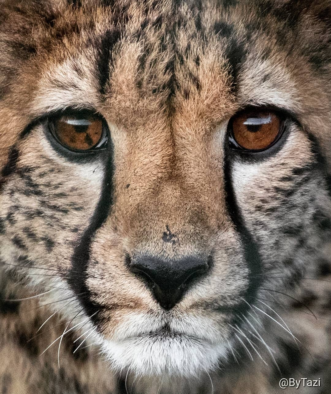 """""""This photo is special to me because 1) I love close ups 2) I love those eyes 3) it is cheetah Tazi, who was named after me. 😊 That makes her and every photo I have of her very special and precious to me... �💕"""" - Tazi Brown"""