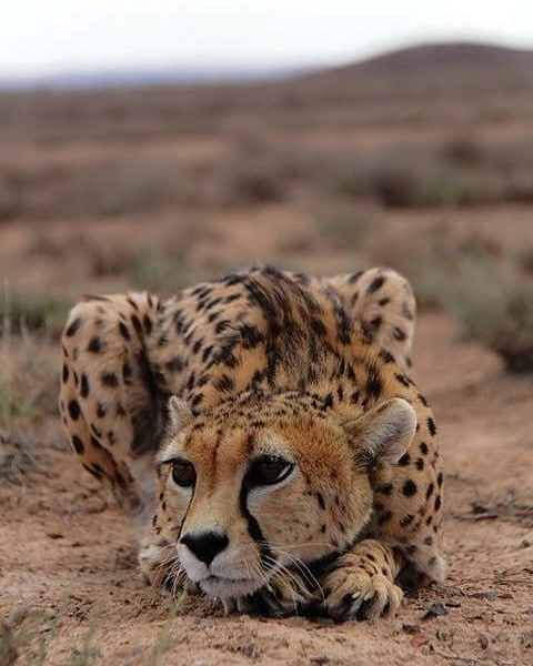 Yes, it's another cheetah, but this one is such a beauty!