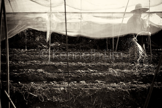 Tai Po organic farmer watering crops