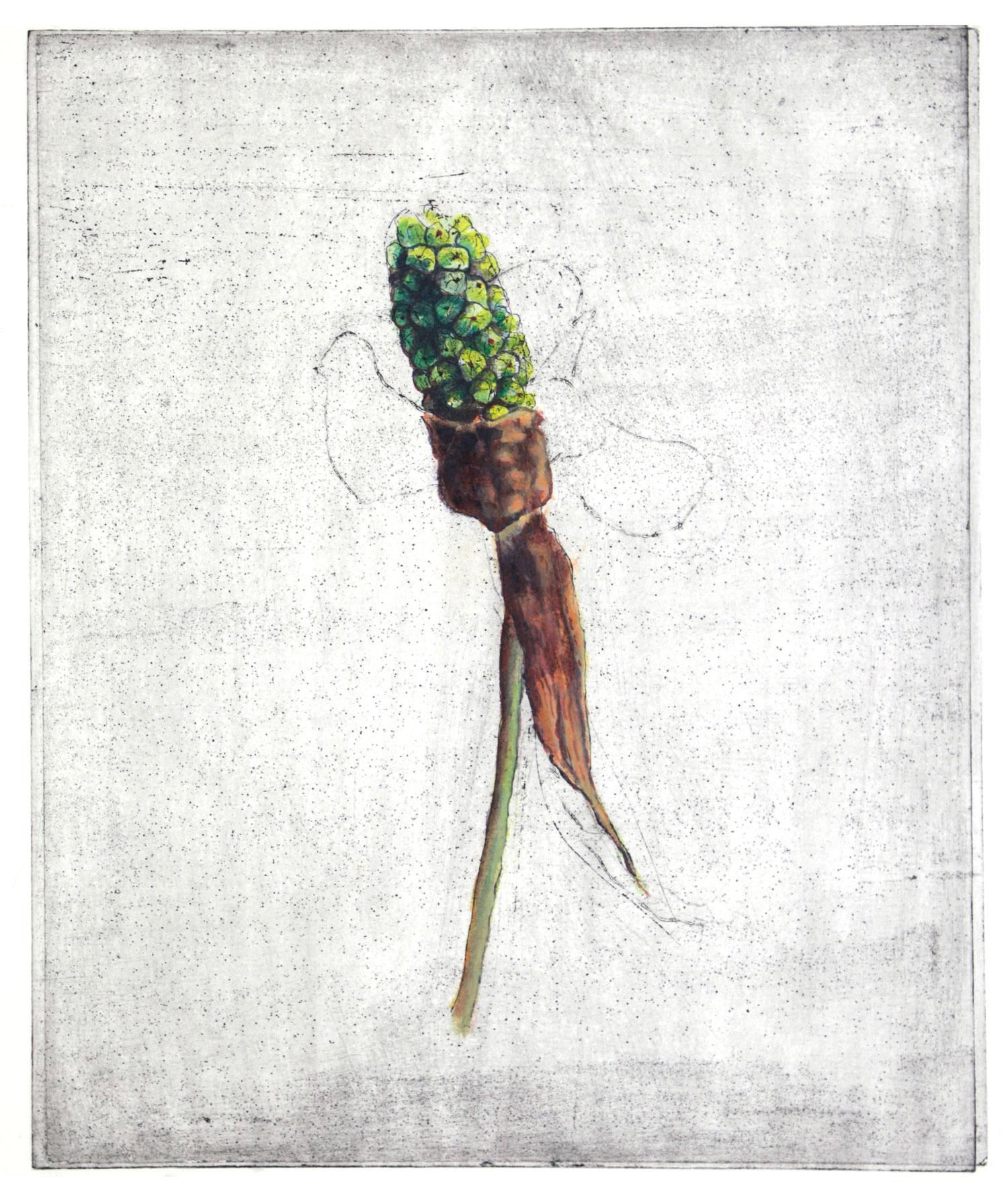 Arum palastinum Boiss
