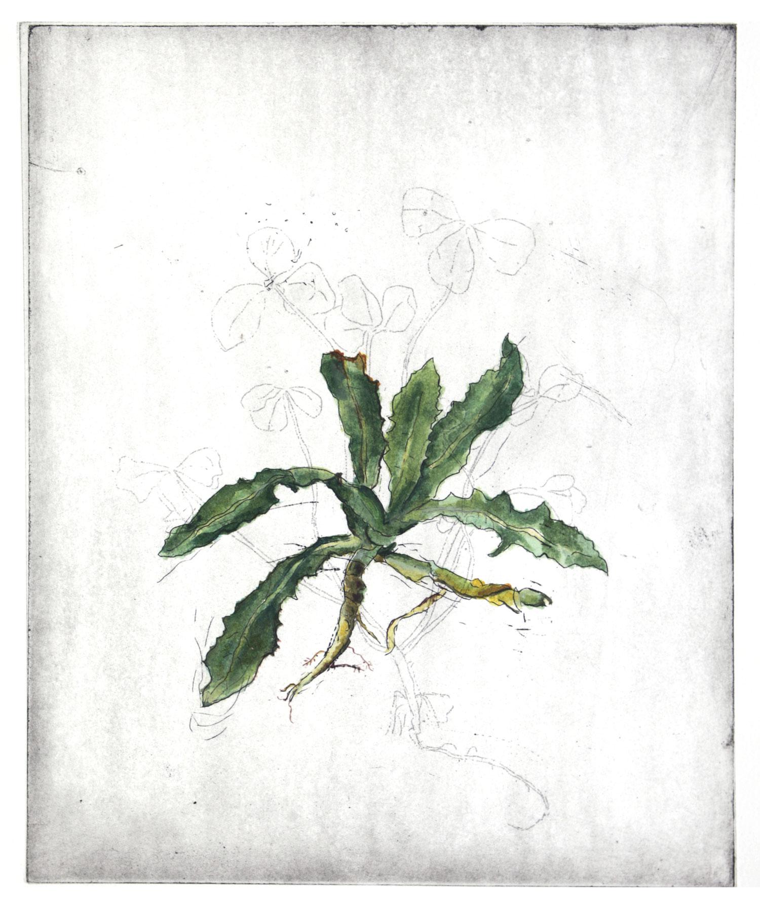 Leontodon thberosus L.