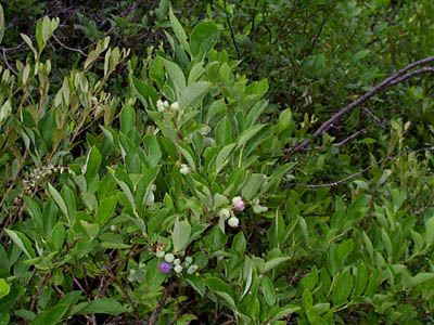 Blueberry (Vaccinium sp.) and Leatherleaf (Chamadaphne calyculata)