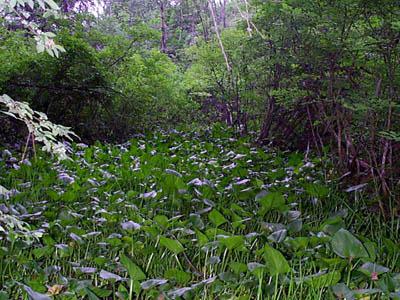 Broad-leaved Arrowhead (Saggitaria latifolia)