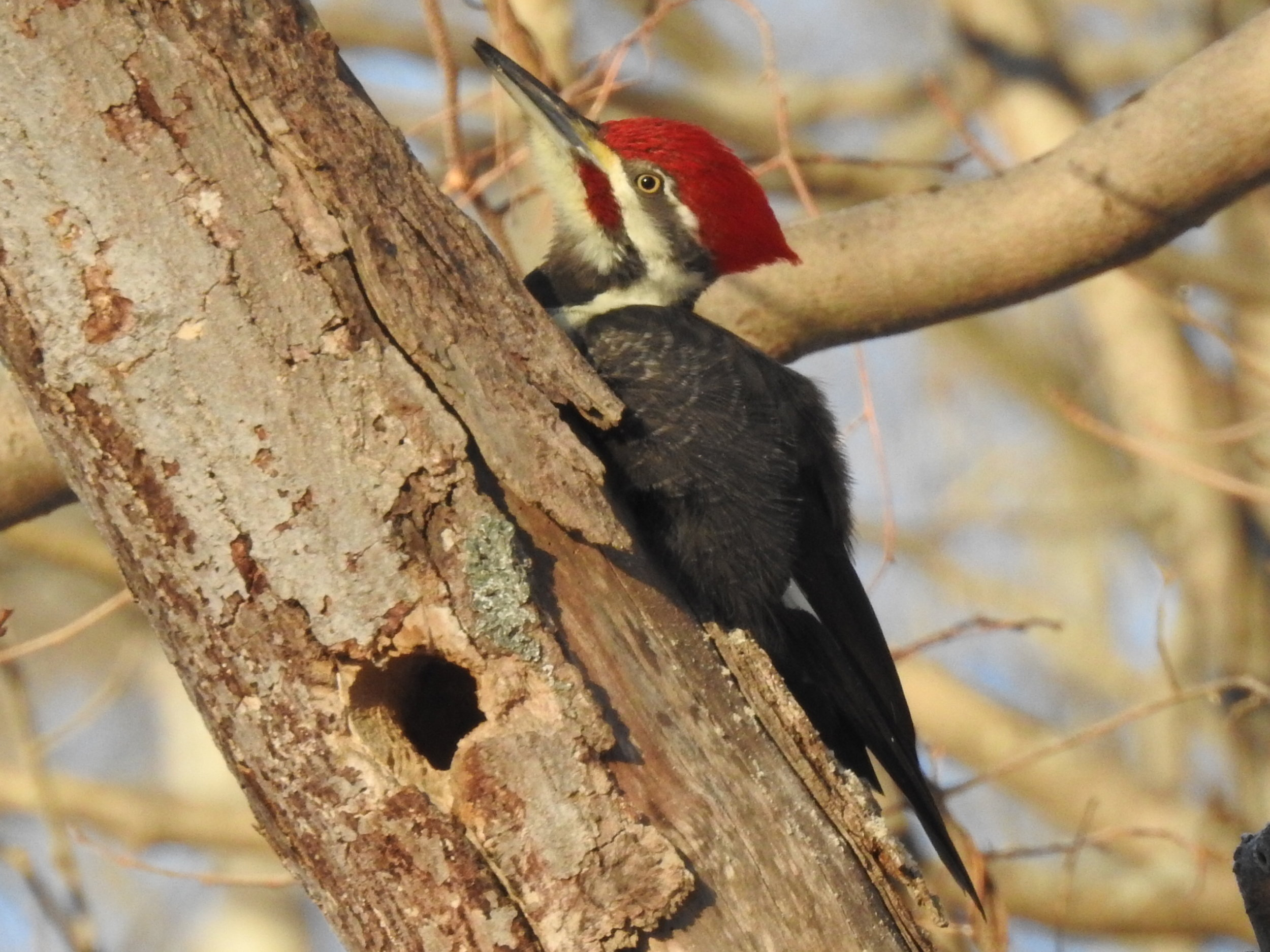Pileated WP CBC 17DEC17 RSCN2481.JPG
