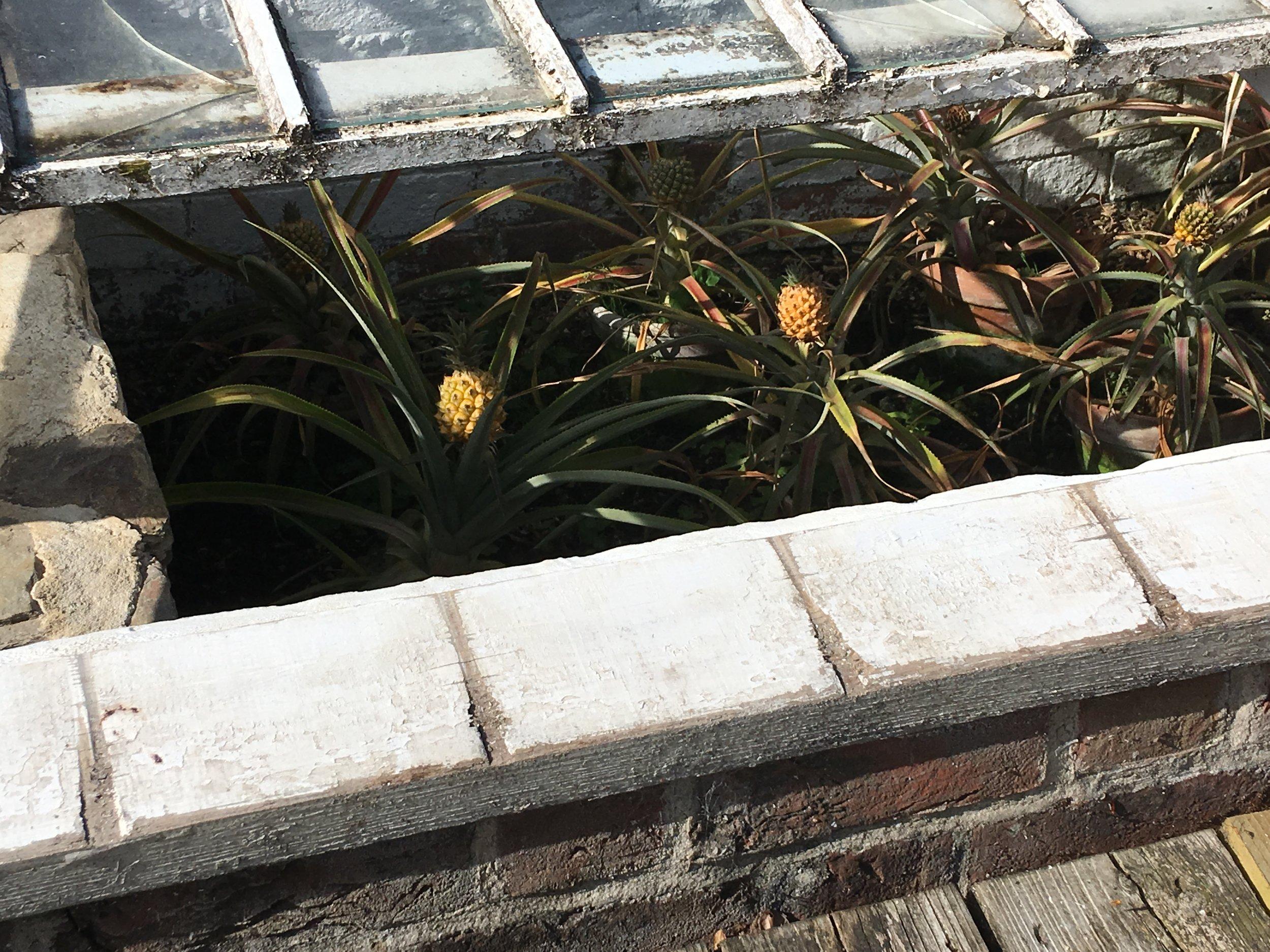 Pineapple pit Heligan.JPG