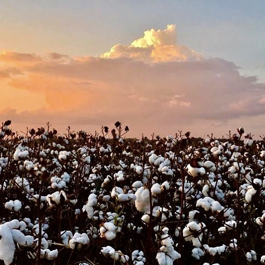 believe it or not...edible cotton coming soon!!! (📷: @khimera13 ) #cotton  check link for more info. https://www.farmfutures.com/cotton/cotton-not-just-t-shirts-anymore