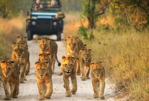singita-boulders-lodge-lion-pride-game-vehicle-01-295x200.jpg