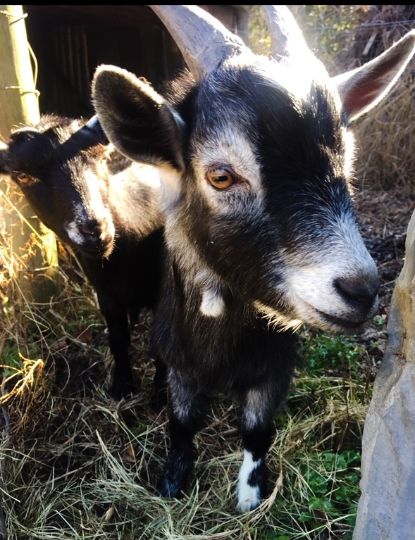 Little Ann and Little Dan, Two of the prettiest little Christmas goats!!