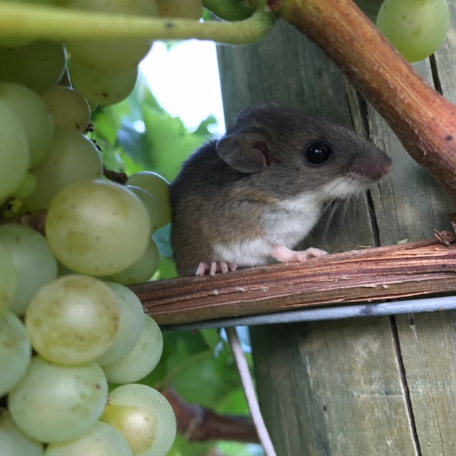 Field Mouse sitting on a wood post next to grape clusters.