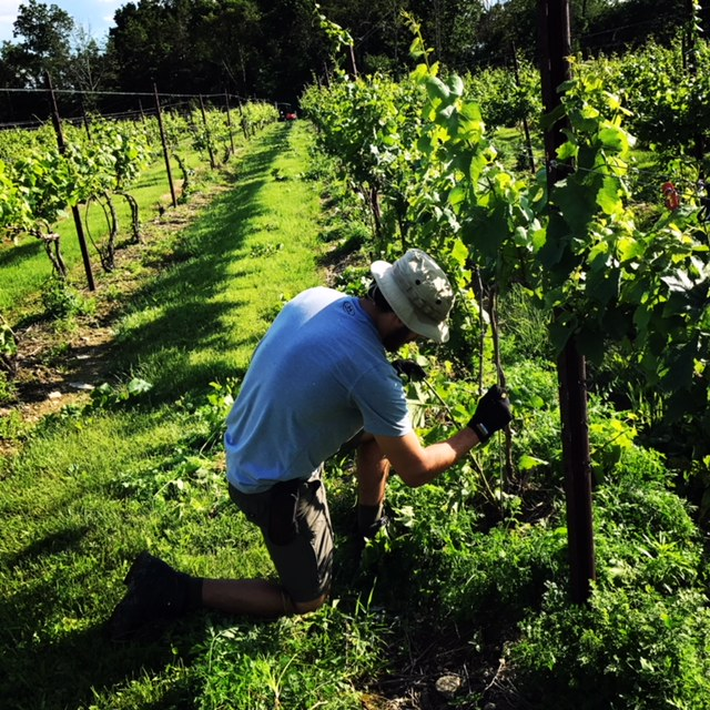 Worker working on grapevines in Bruynswick Vineyard.