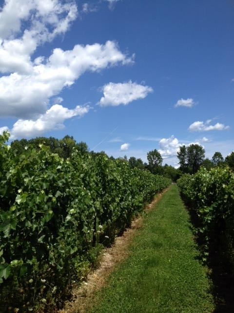 Row of grapes in Bruynswick Vineyard.
