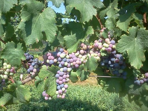 Cabernet Franc grape clusters on the vines.