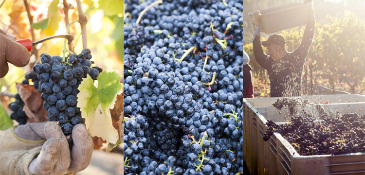 Fall Harvest in Napa Valley -