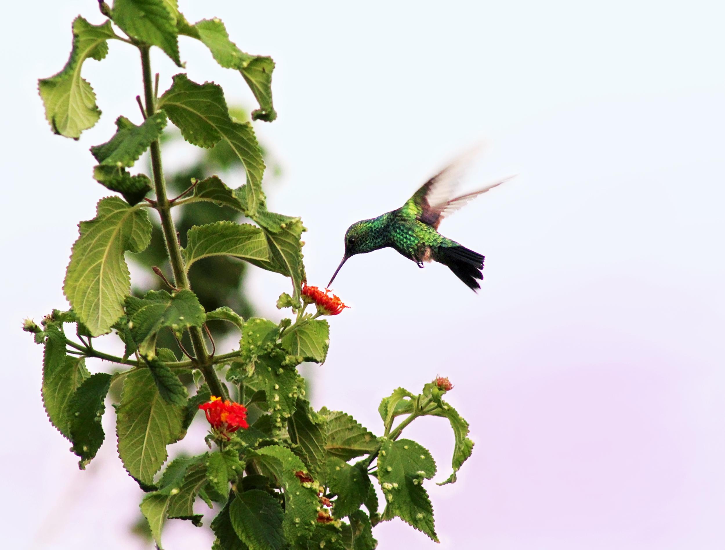 NISHLA-Design_Hummingbird_Trinidad_IMG_0715.jpg