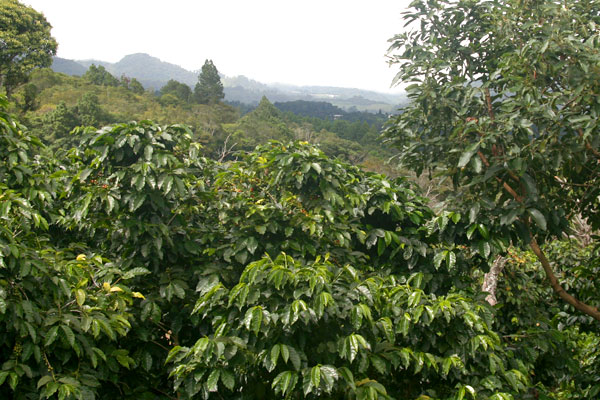 organic-coffee-farm.jpg