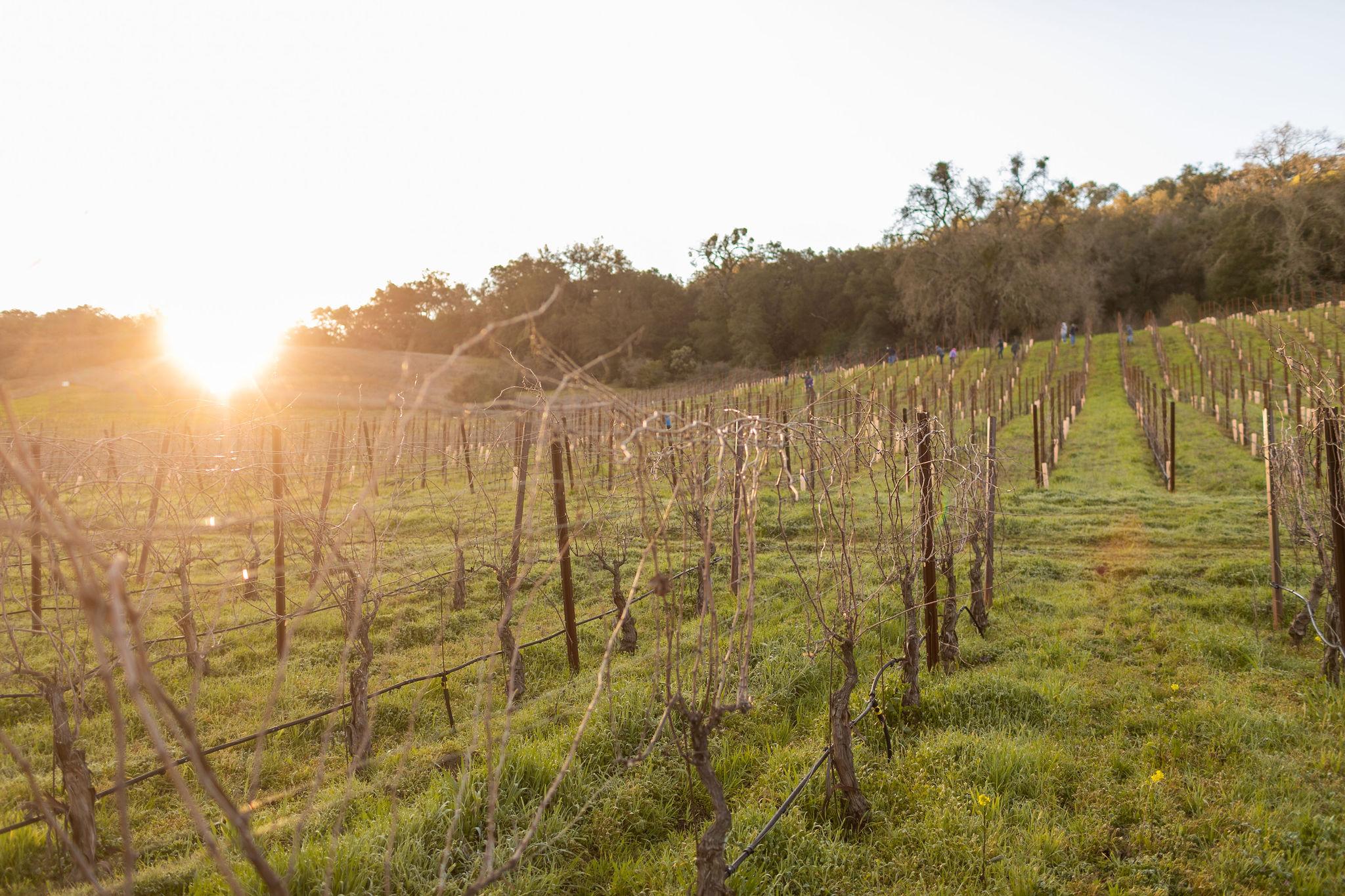 acacia_productions-halter_ranch-pruning-0039.jpg