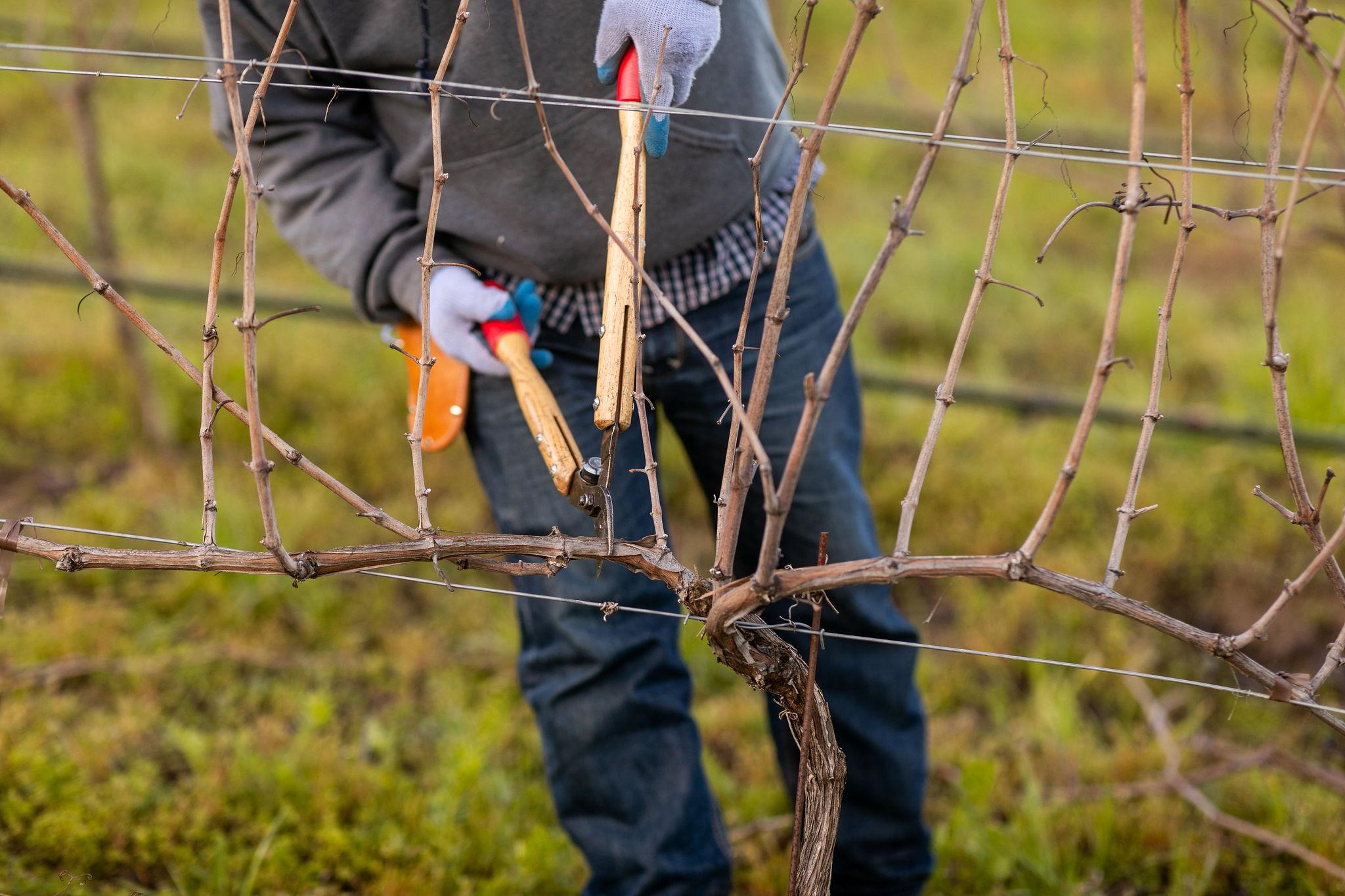 acacia_productions-halter_ranch-pruning-0075.jpg