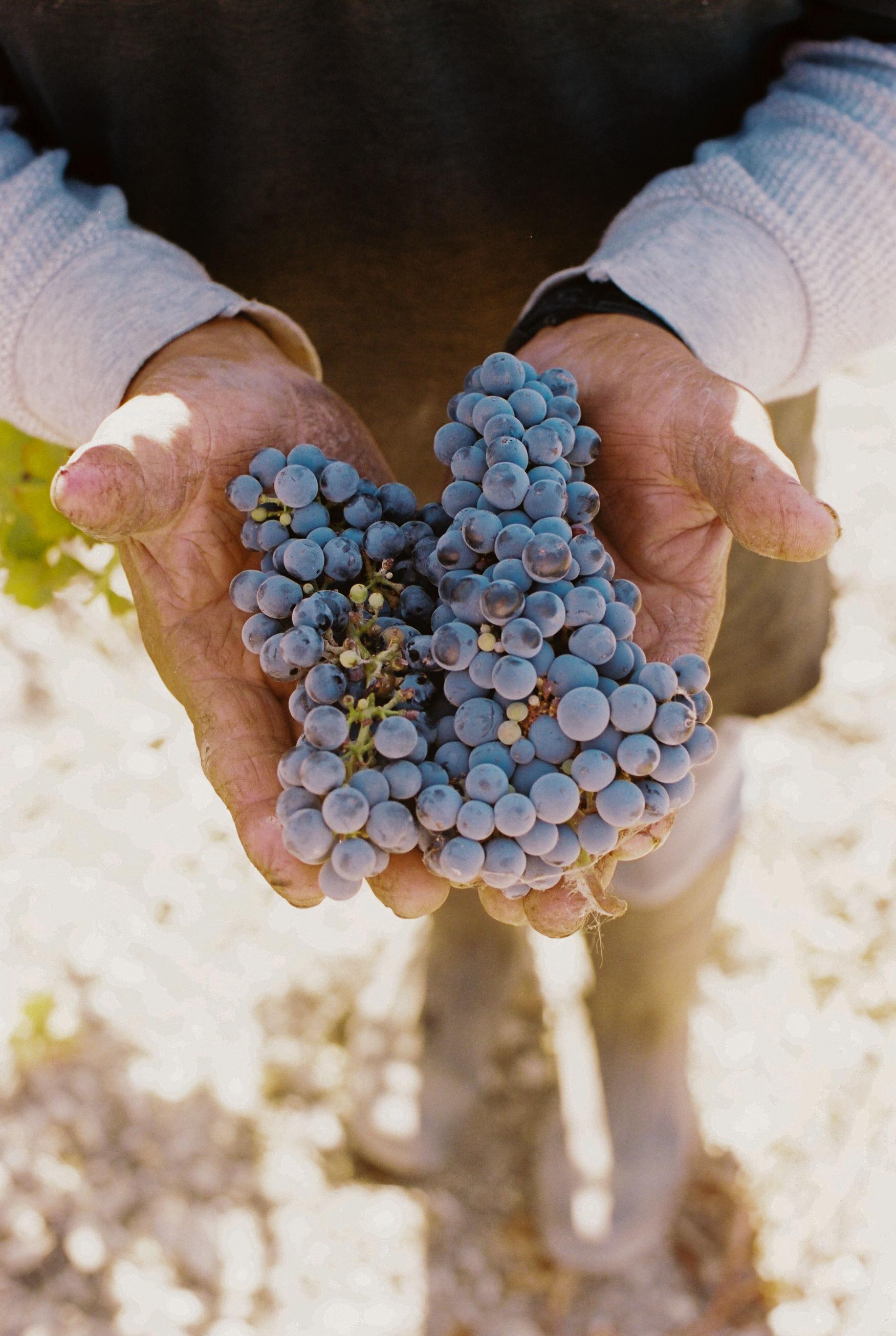 acacia_productions-halter_ranch-harvest-FILM-0067.jpg