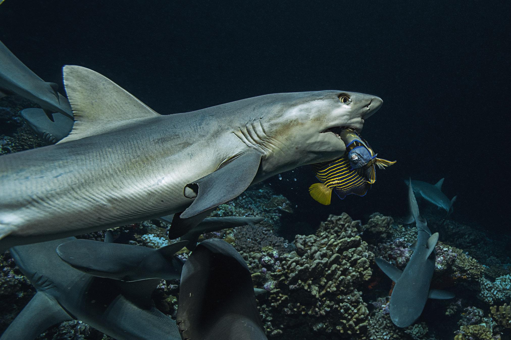 Bon-plan-exposition-700-requins-dans-la-nuit-elisa-les-bons-tuyaux-credit-photo-Laurent-Ballesta-2.jpg