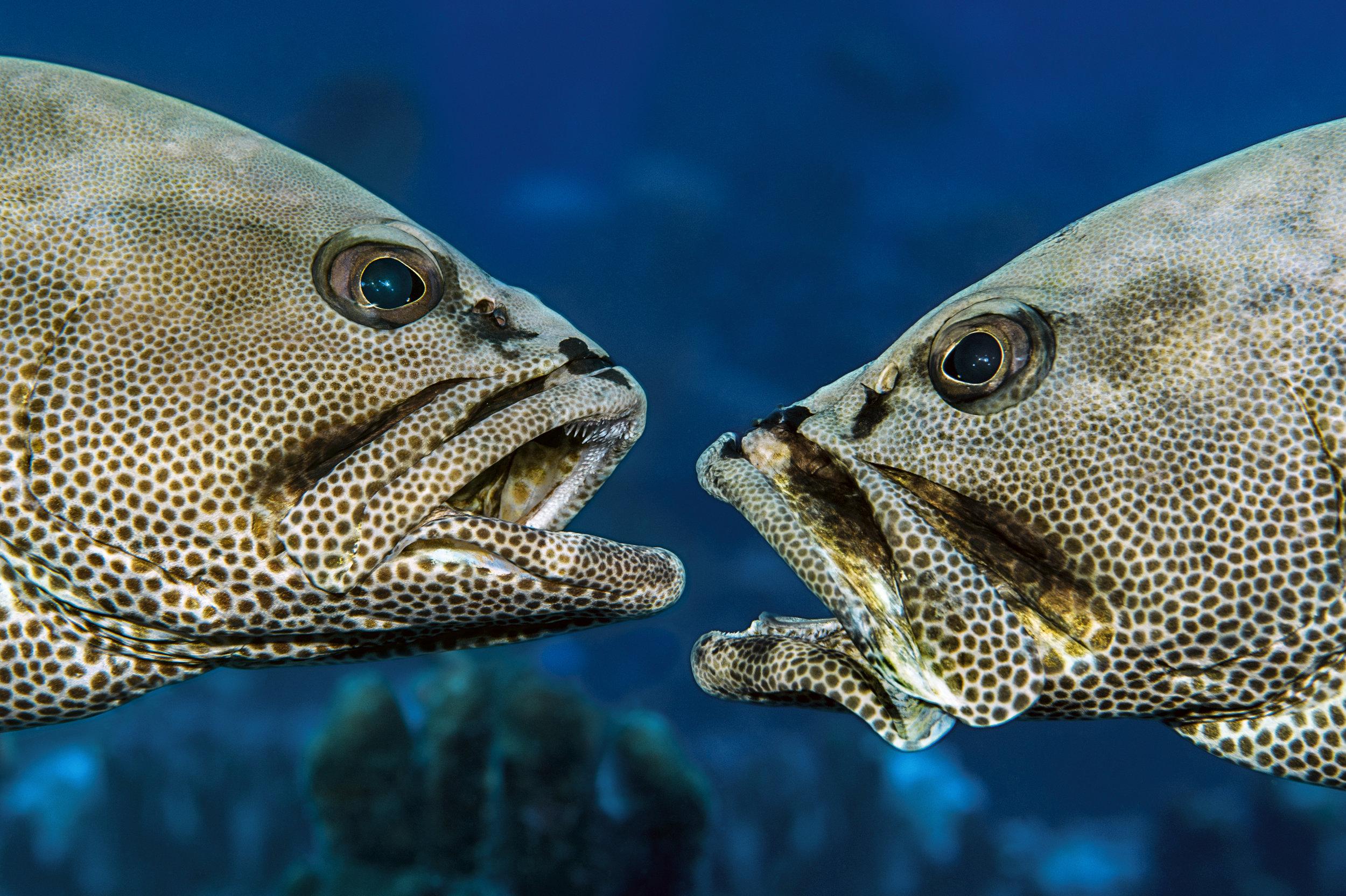face-à-face-mérous-Bon-plan-exposition-700-requins-dans-la-nuit-elisa-les-bons-tuyaux-credit-photo-Laurent-Ballesta.jpg