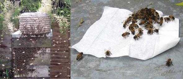 Honeybee-Swarm-Attractant-Wipe.jpg