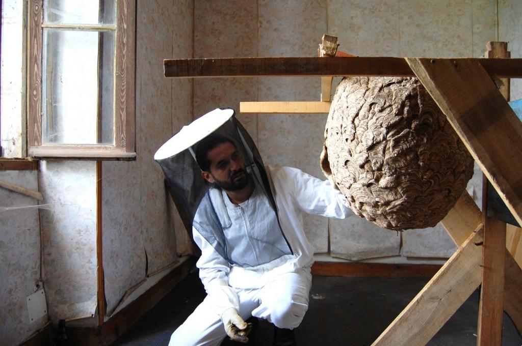 Asian hornet (Vespa velutina) nest