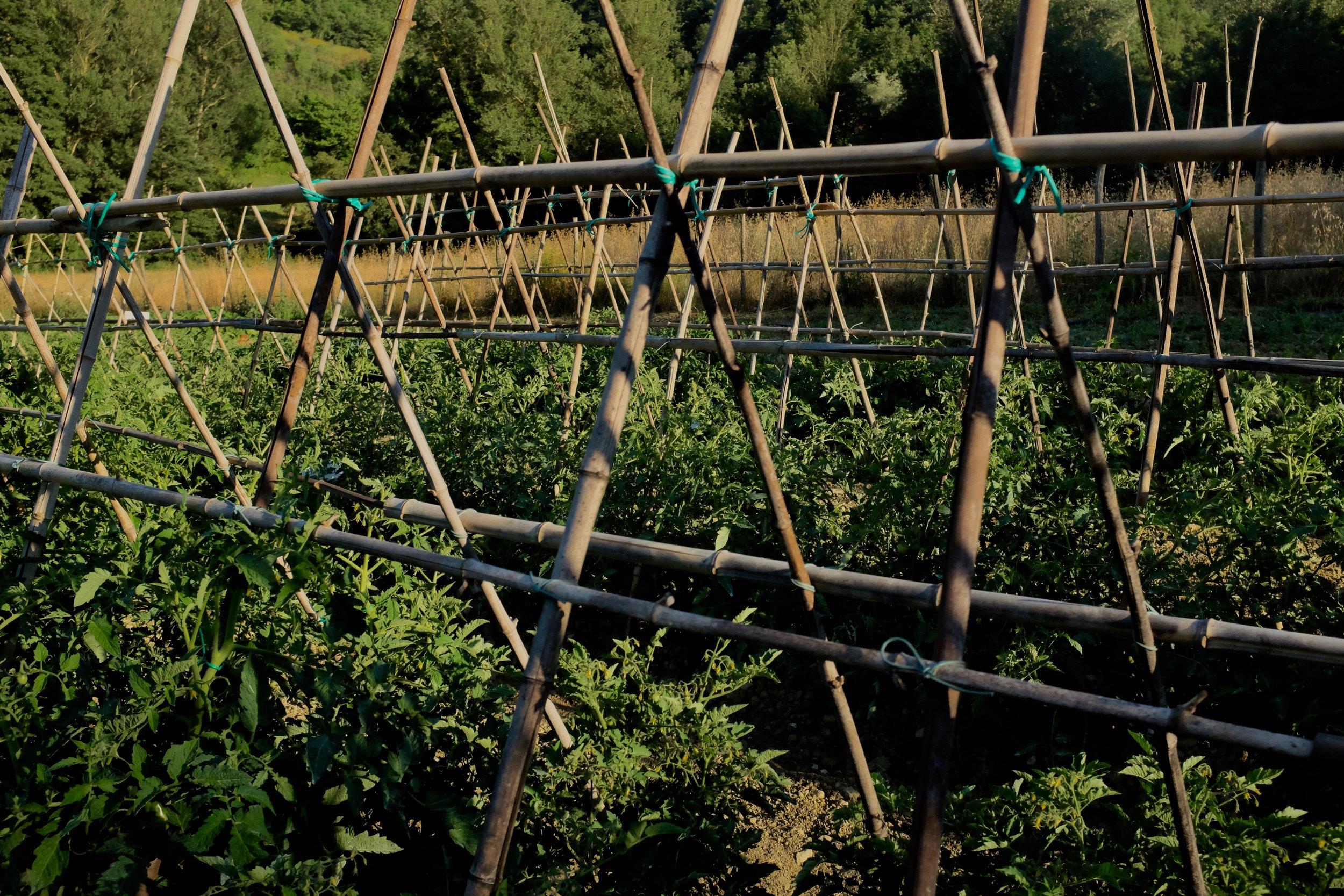 La Tavola Marche Tomatoes