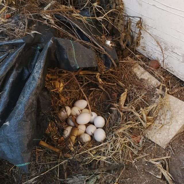 Well, that explains where the eggs have been the past two weeks #freerangechickens #fresheggs
