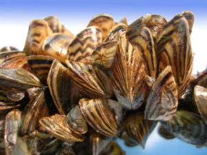zebra_mussels_fws-300x225.jpg