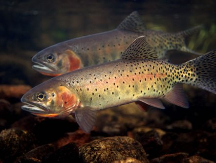 CO_Fish_CO_Cutthroat_Trout.jpg