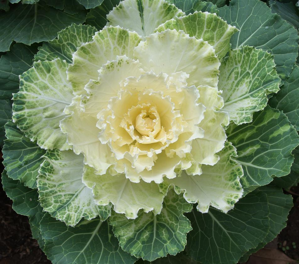 ornamental kale2.jpg