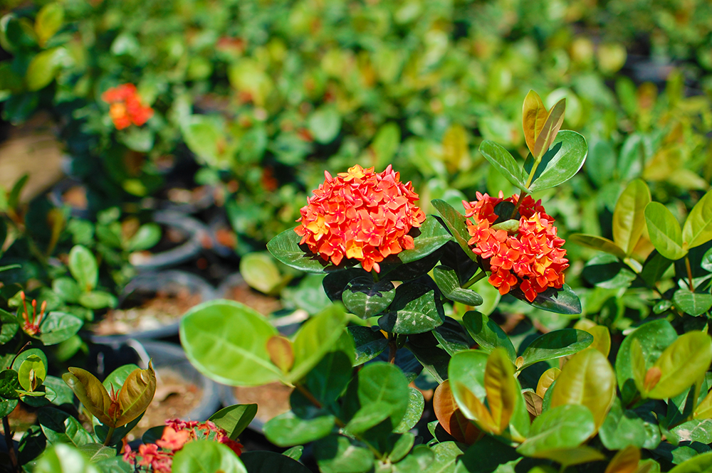 Jungle Geranium - Ixora coccinea