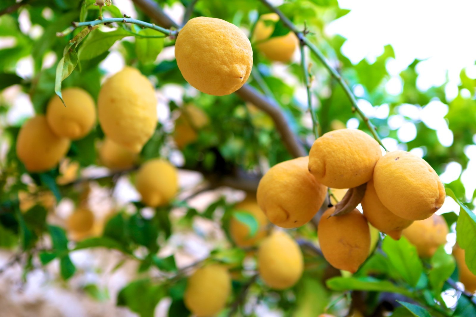 lemon-tree-4-1614984.jpg