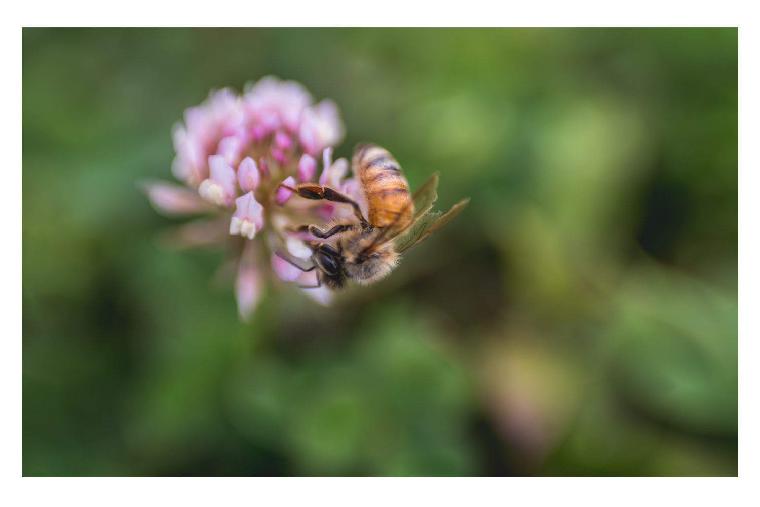 the bee and the pink clover 1.jpg