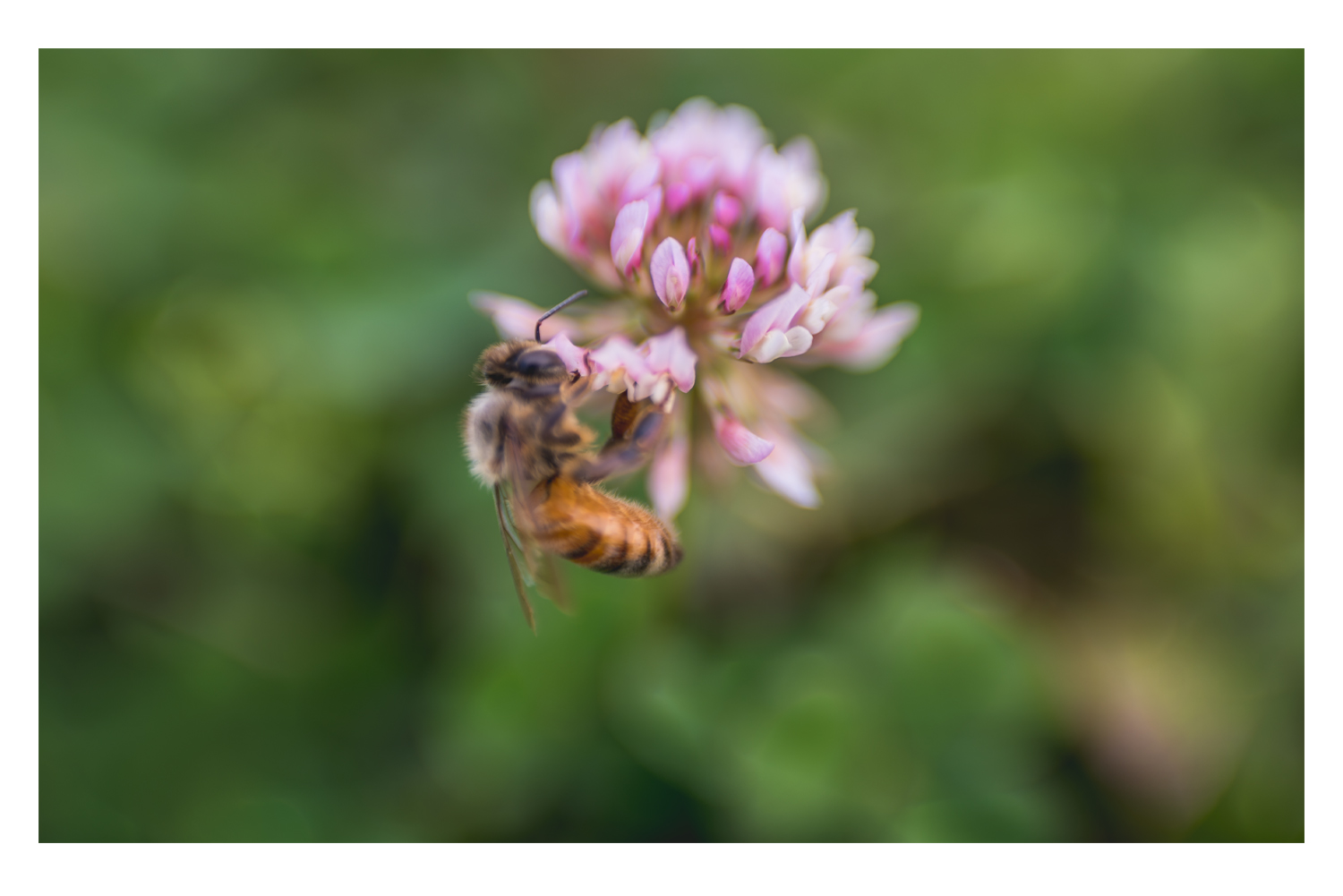 the bee and the pink clover 3.jpg