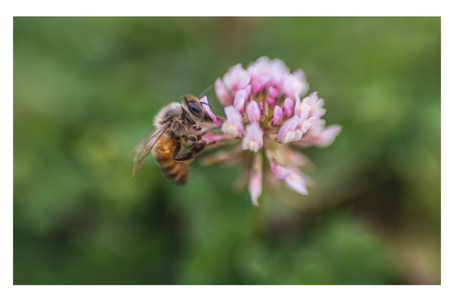 the bee and the pink clover 4.jpg