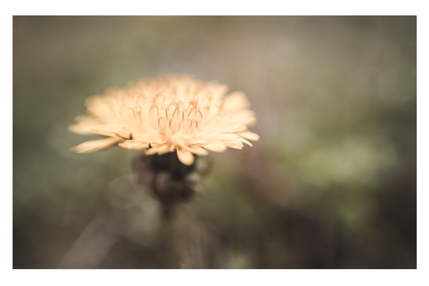 in the softness of a yellow dandelion.jpg