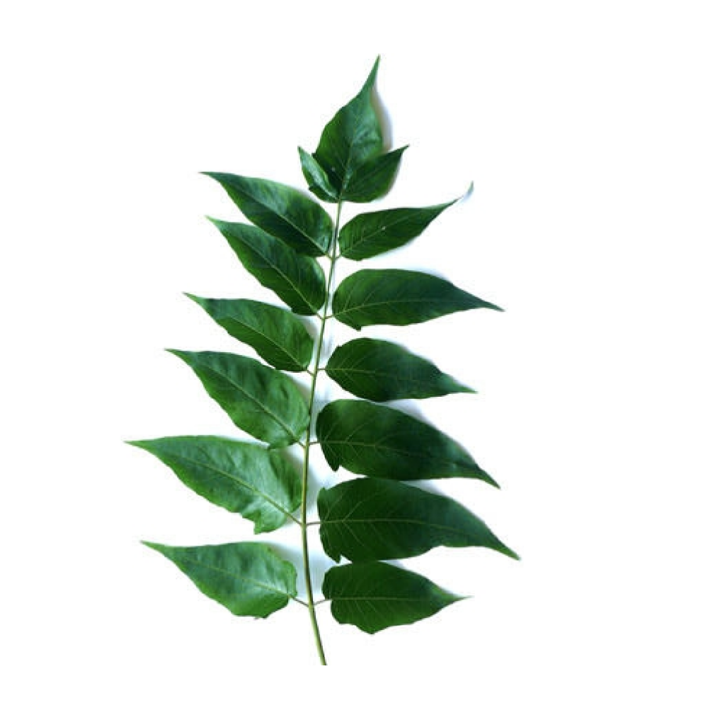 The distinctive fan-like leaves are odd or even-pinnately compound, organized in pairs on either side of the main stem.