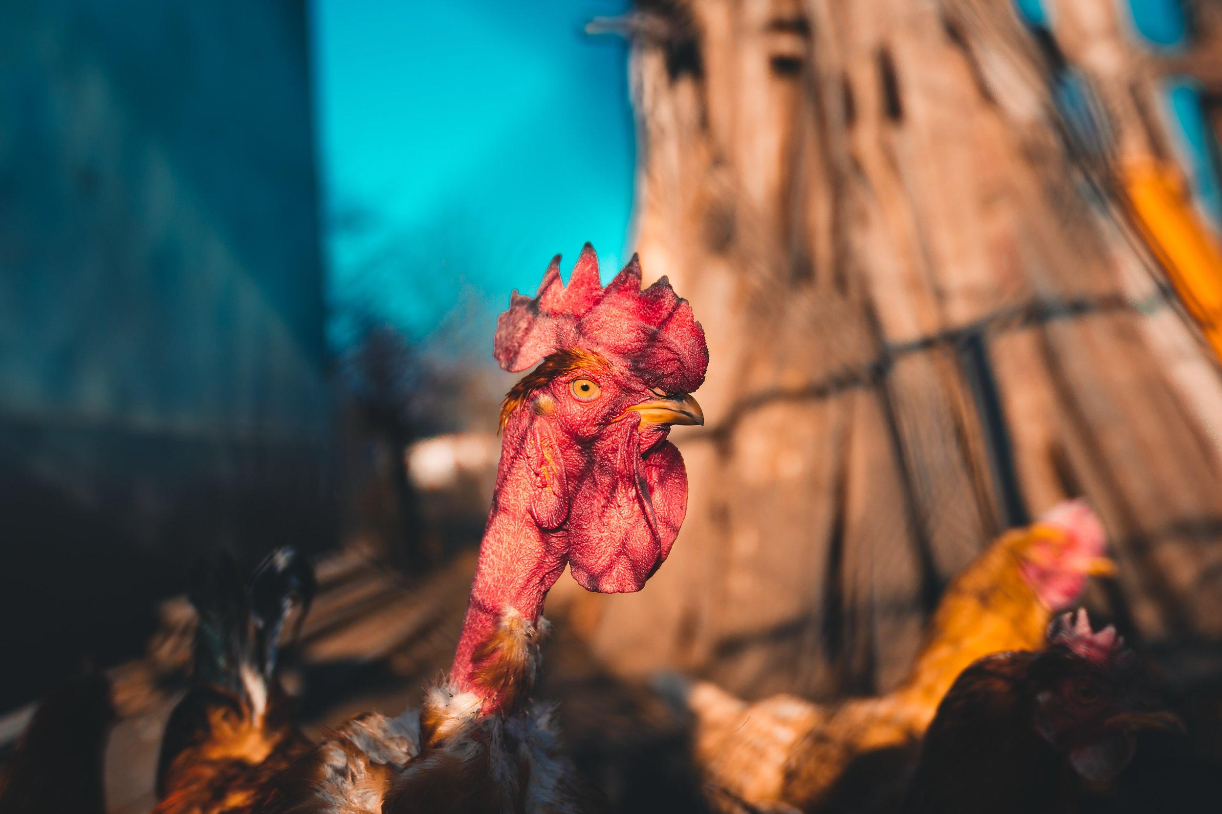 No, there weren't any chickens in this first set of search results. But some of the patent documents you submitted for POPQuiz 2 were as weird as this rooster. Weirder, probably.  Photo by  Anton Darius | @theSollers  on  Unsplash .