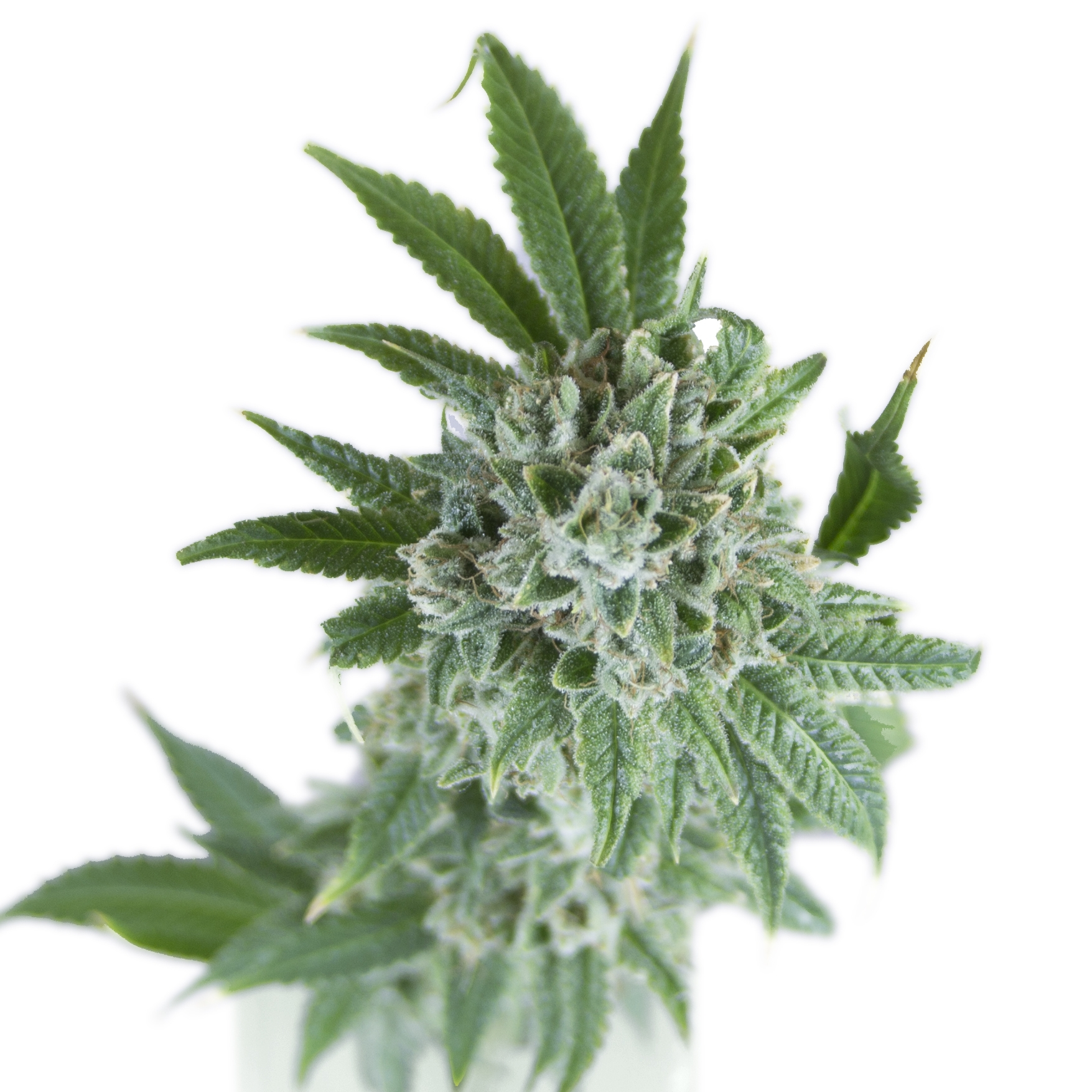 SuperSour_Flower_1824.jpg