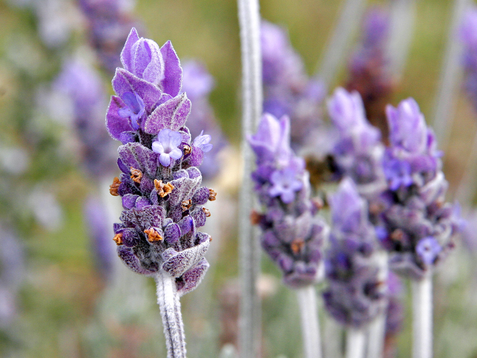 Lavender with its distinctive colouring