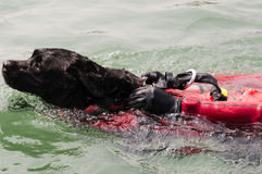 water-rescue-dog-19418710.jpg