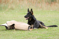 german-shepherd-10744443.jpg