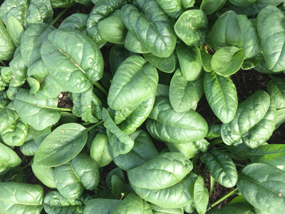 spinach-close-up-in-garden.jpg