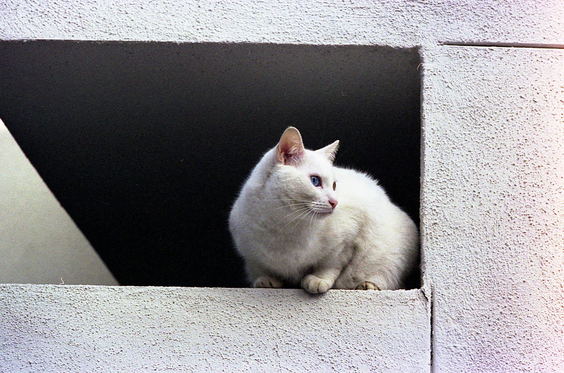 Hollywood cat