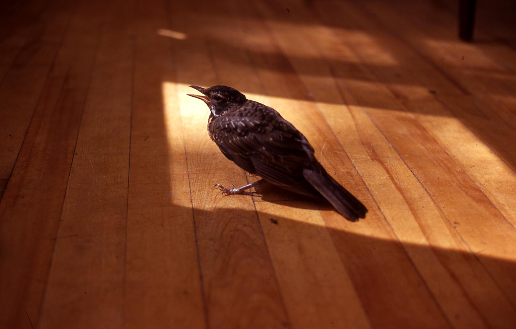 Hanover NH bird on floor