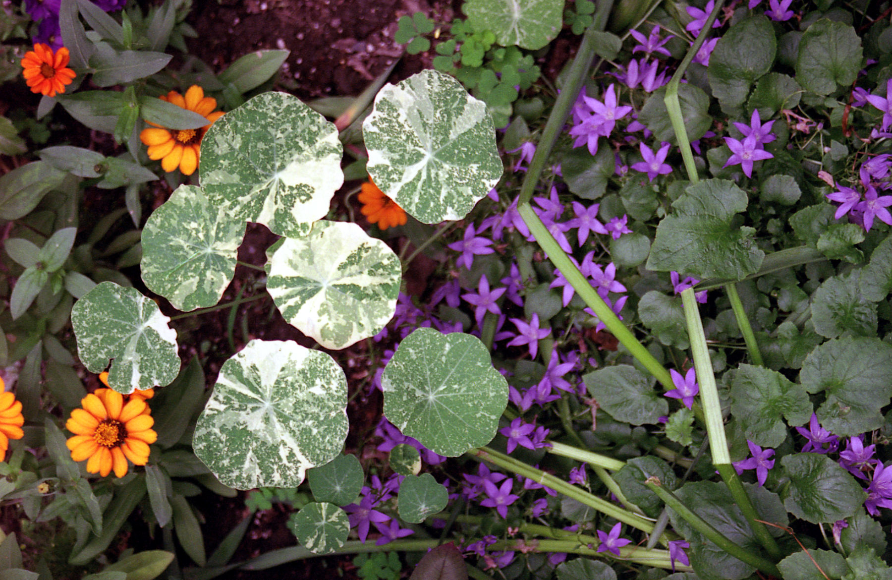 Manhattan flowers in garden