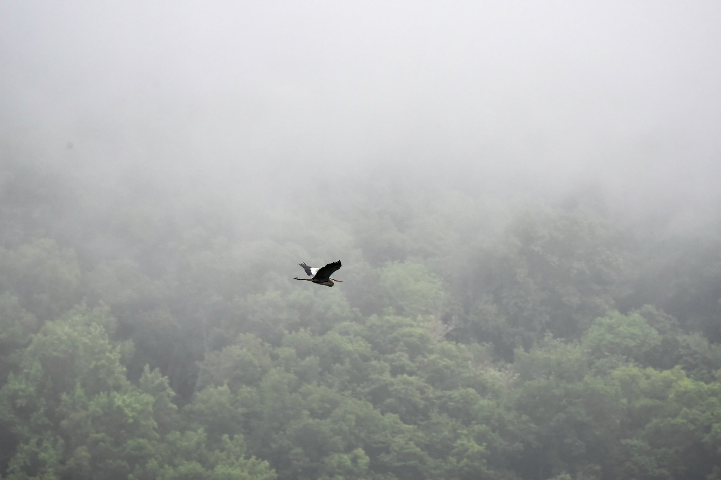 Great blue heron on her morning commute over the Potomac River